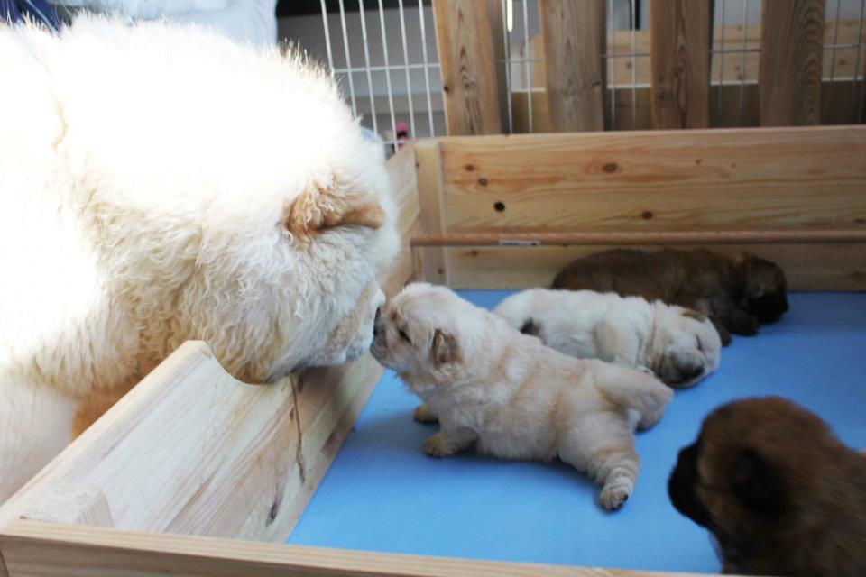 perritos pequeños chow chow