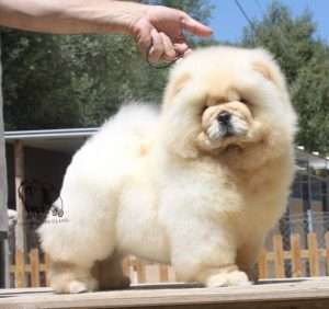 mejor chow chow