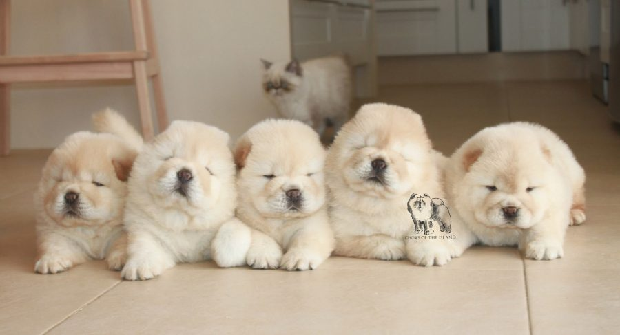 chow chow bebes