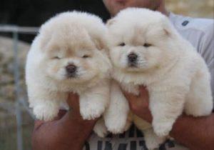 fotos de chow chow bebés